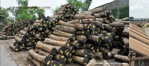 Indonesian grown logs at SF Resources